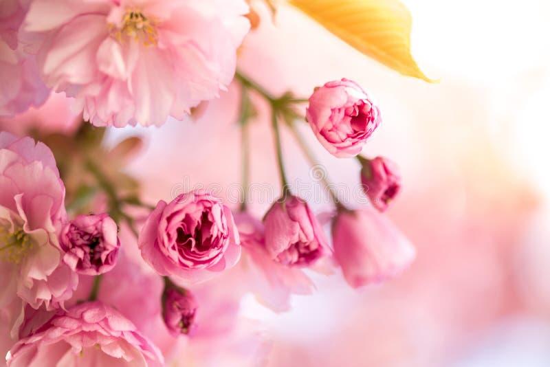 春天:与桃红色开花的开花的树,秀丽 免版税图库摄影