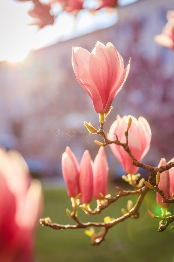 春天:与桃红色木兰开花的开花的树,秀丽 免版税库存图片