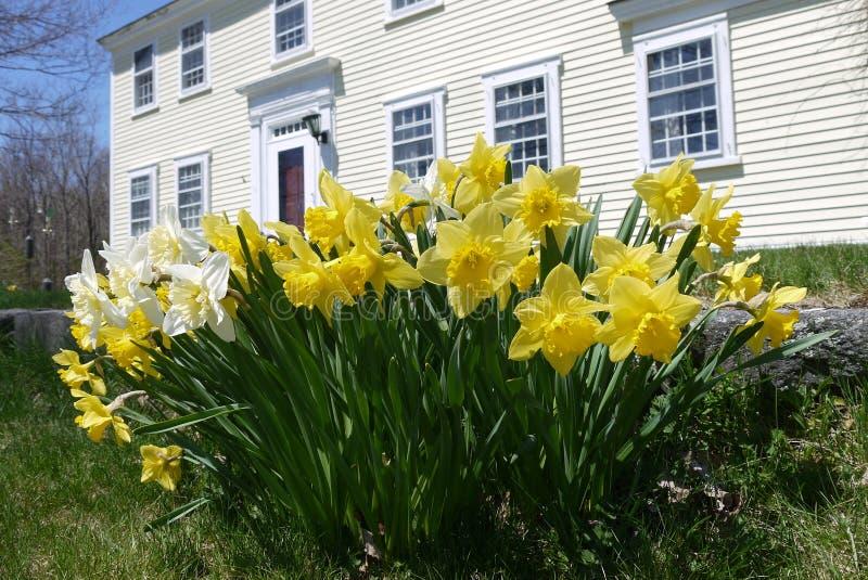 春天:有黄色黄水仙的殖民地房子 免版税库存图片