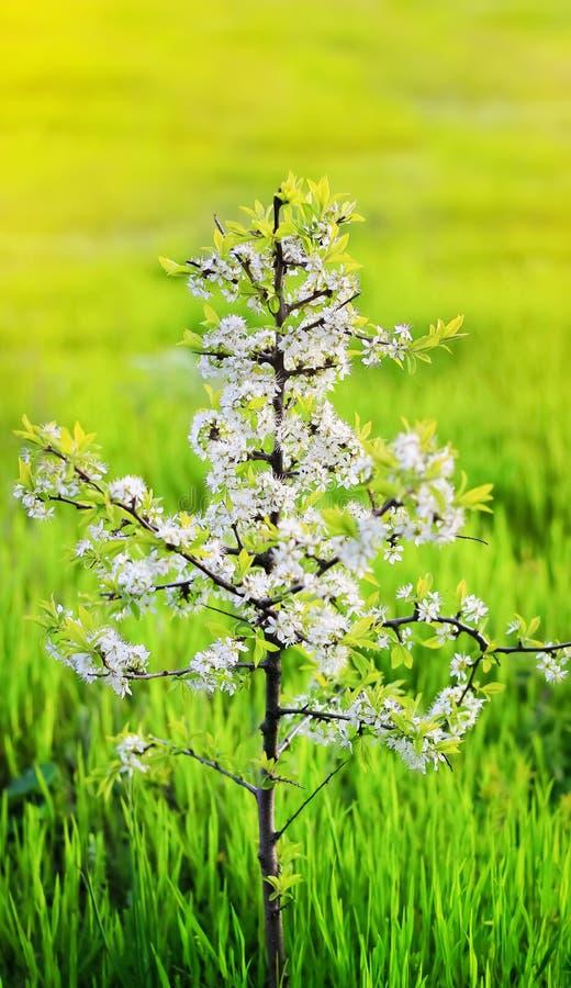 春天 小树特写镜头开花开花樱桃反对蓝色图片