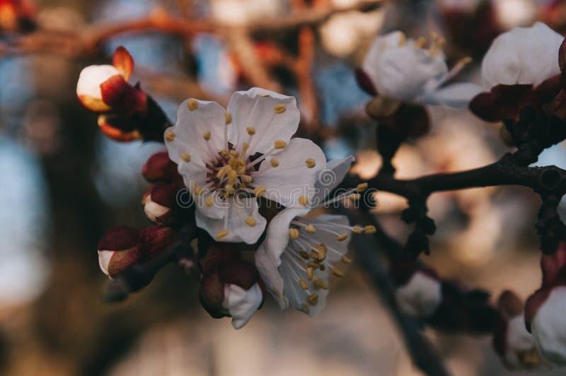 春天 并且花的时期在树的 免版税库存图片
