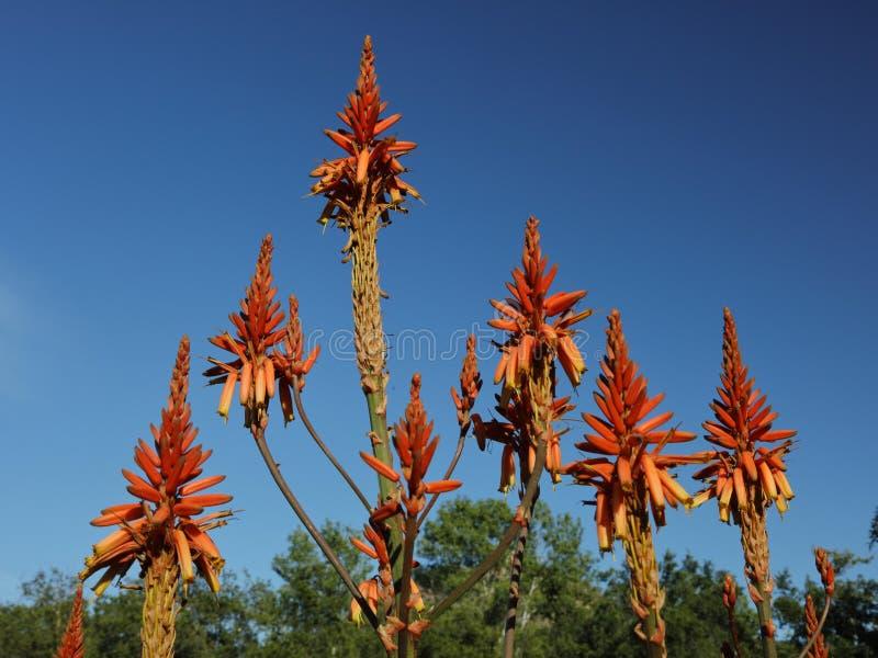 春天绽放在塔夫脱植物园的加利福尼亚, Ojai C 免版税图库摄影
