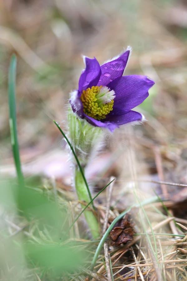春天紫色狂放的森林花pasqueflower关闭 免版税库存图片