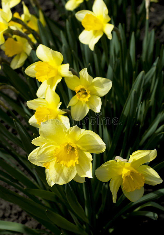 春天黄色花,关闭 免版税库存照片
