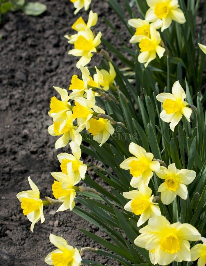春天黄色花 库存图片