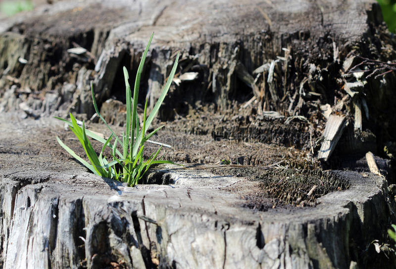 春天年轻草从树桩增长 免版税库存照片