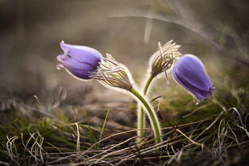 春天pasqueflower,白头翁属vernalis春天开花闭合的i 库存图片