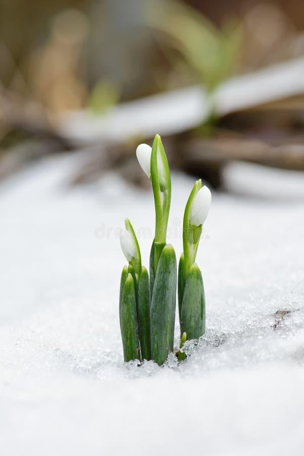 春天snowdrop在森林里开花来自雪 免版税库存图片