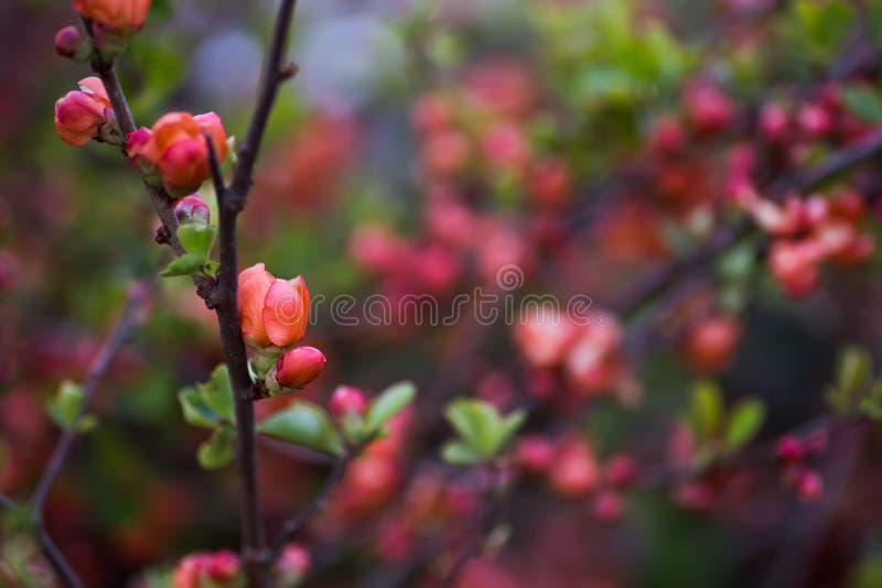 春季室外复制空间中日本木瓜粉橙枝的开花 鲜花盛开的灌木 免版税库存图片