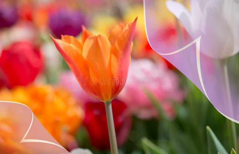 春季的新鲜的开花的五颜六色的郁金香 免版税库存图片