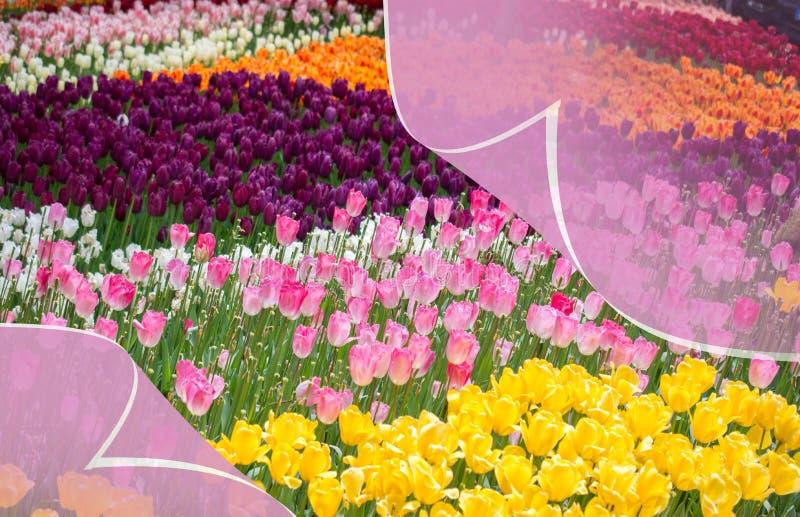 春季的新鲜的开花的五颜六色的郁金香 库存图片