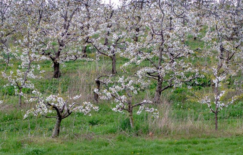 春季苹果树 库存照片