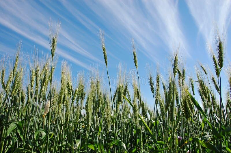春小麦 库存照片