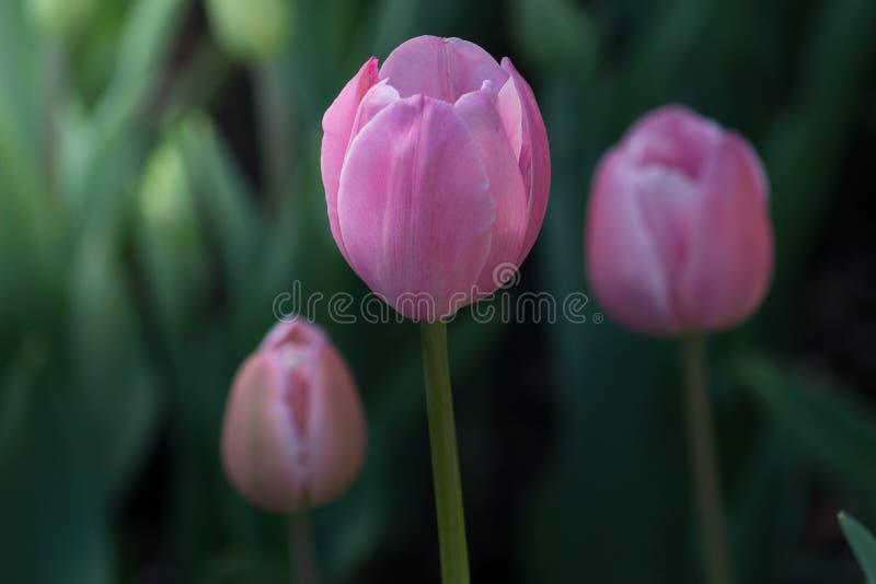 春日三朵盛开的粉红郁金香 图库摄影