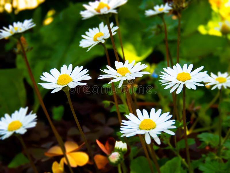春白菊花 库存照片