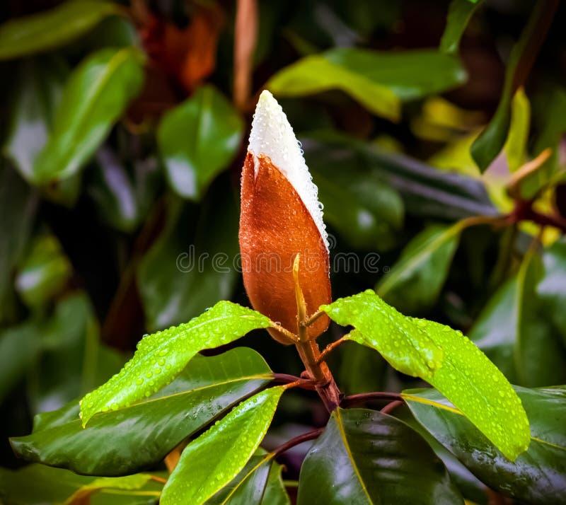 春雨中玉兰树芽叶闭合 库存照片