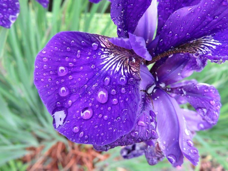 春雨中的紫鸢尾花瓣 库存照片