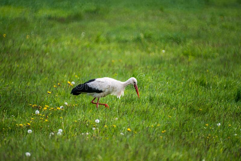 春青草中的白鹳 免版税库存图片