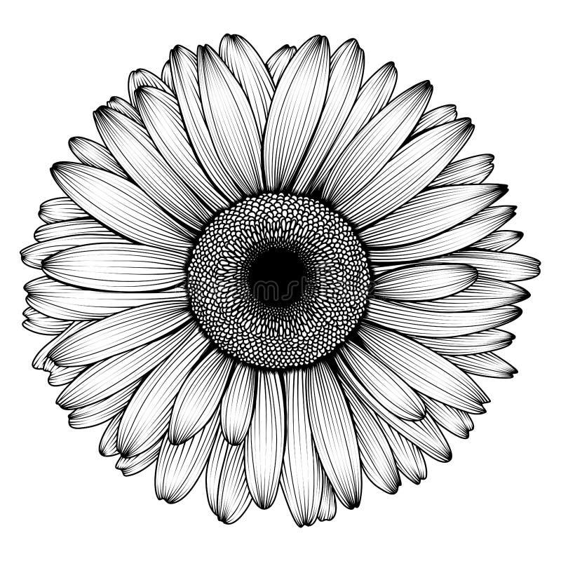 春黄菊、雏菊、大丁草或者菊花的传染媒介手拉的图象 向量例证