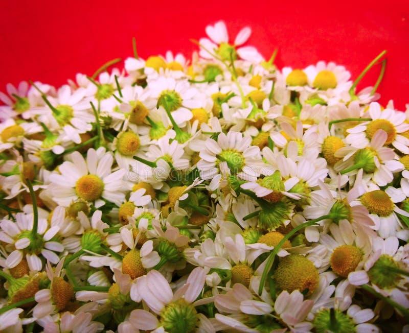 春黄菊一棵医治用的植物  库存照片