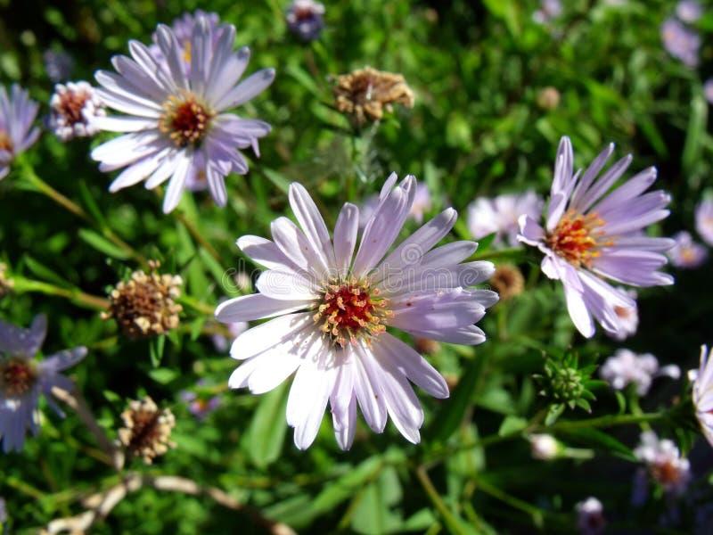 春黄菊和淡紫色翠菊在绿叶背景  免版税库存图片