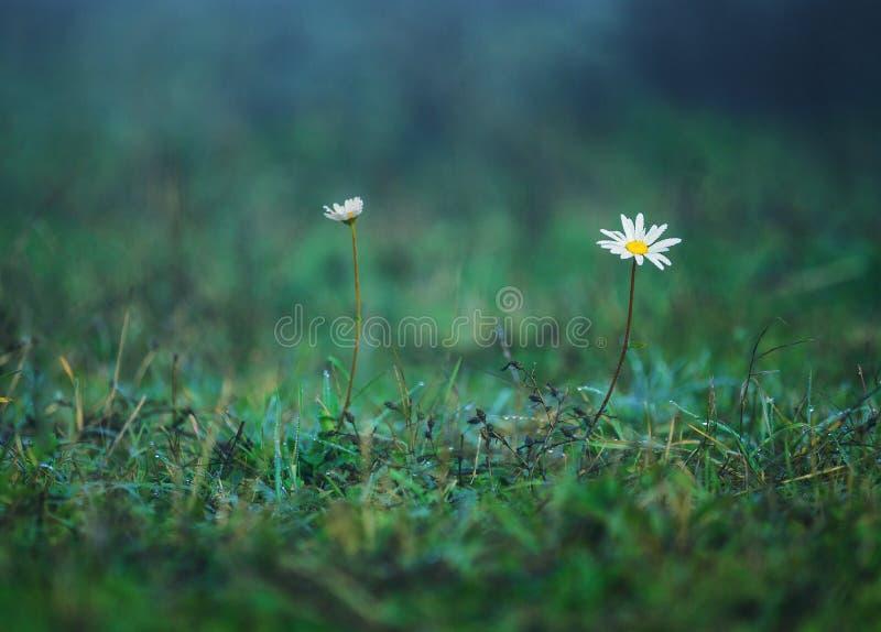 春黄菊在一个草甸开花在夏天,蓝色被定调子的背景 免版税库存图片