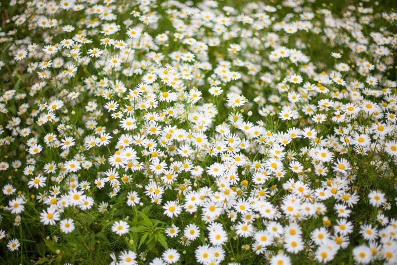 春黄菊或春白菊草甸顶视图 免版税库存照片