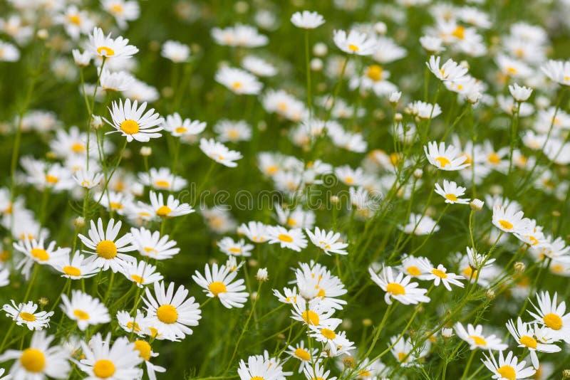 春黄菊或春白菊草甸 库存照片