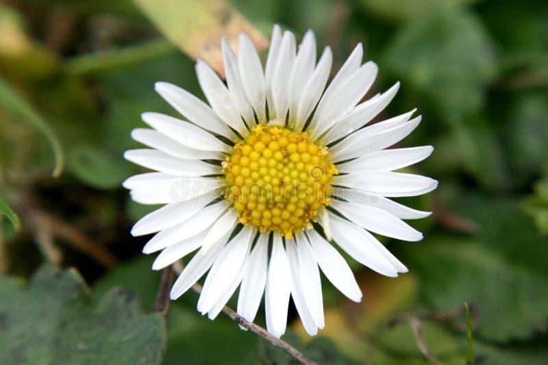 春黄菊是多山的 免版税库存图片