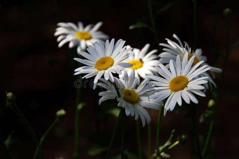 春黄菊白花在阳光下在黑暗的背景 免版税库存照片