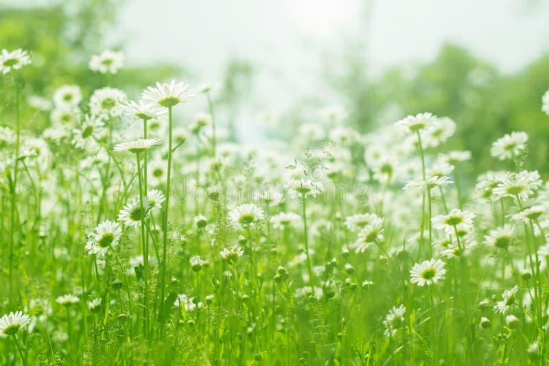 春黄菊花田阳光 温暖无忧无虑的概念雏菊的夏天 自然美好的场面与开花的医疗春黄菊的 免版税库存图片