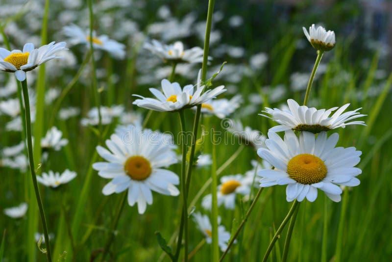 春黄菊花 与开花的雏菊的美好的夏天场面 免版税库存照片