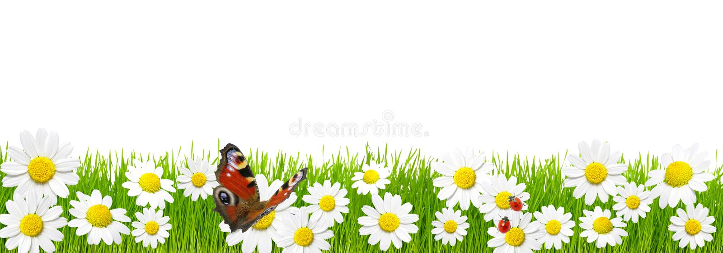 春黄菊草绿色 免版税图库摄影