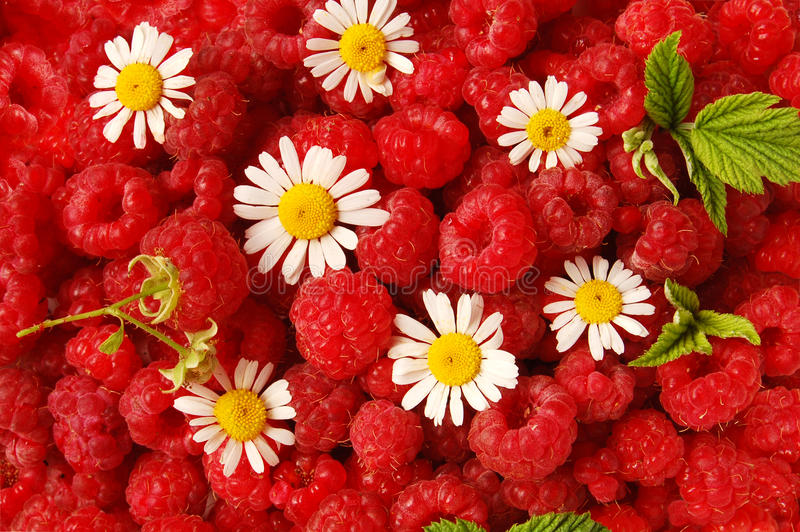 春黄菊莓 库存照片