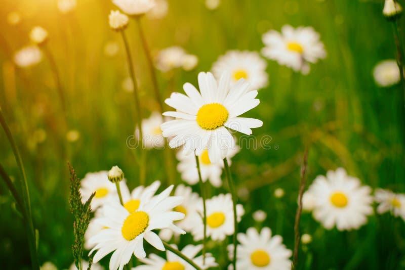 春黄菊领域花边界 与开花的医疗chamomilles的美好的自然场面在太阳火光 库存图片