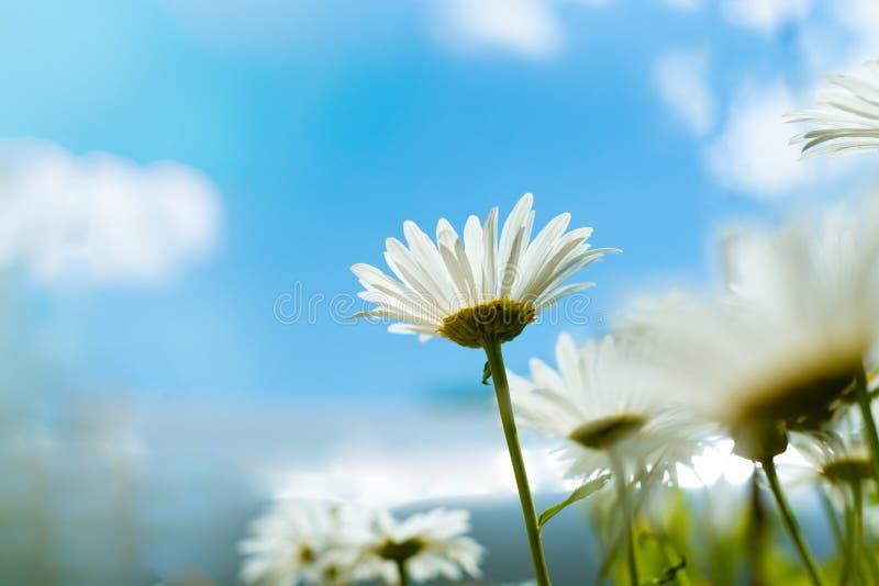 春黄菊,反对天空蔚蓝的底视图与云彩 宏观特写镜头照片 卡片设计概念,拷贝空间 免版税库存照片