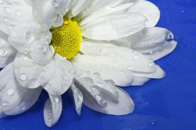春黄菊 免版税库存图片