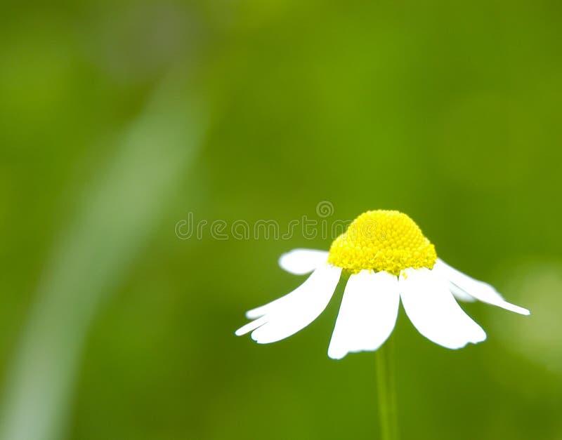 春黄菊ii 免版税库存照片