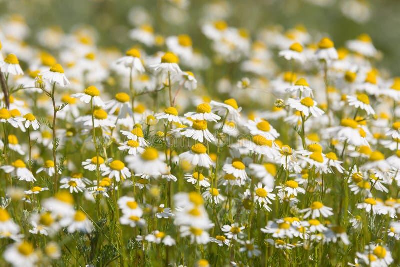 春黄菊丛林在草甸的 库存图片