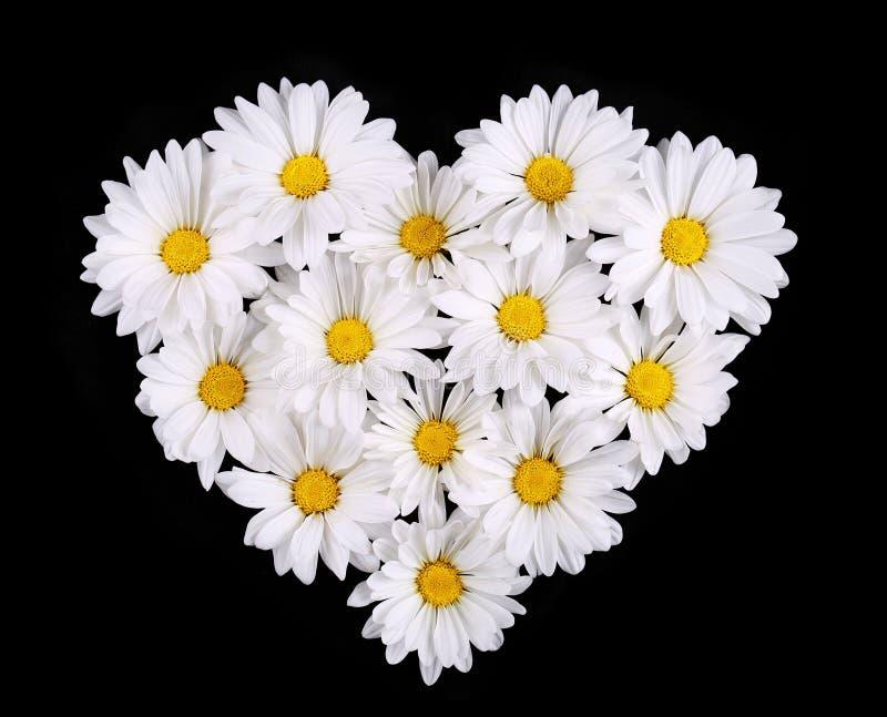 春黄菊在黑背景的心脏形状开花。雏菊 免版税库存照片