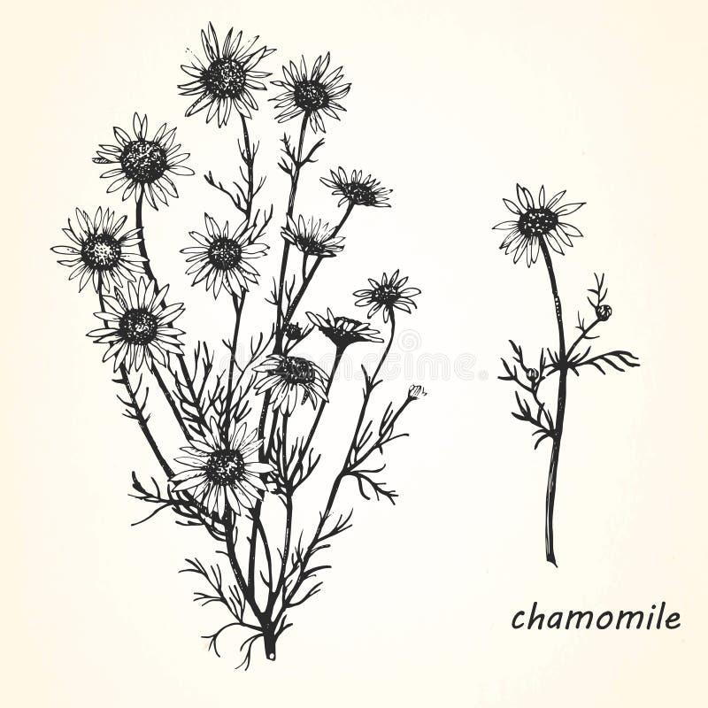 春黄菊的手拉的例证 库存例证