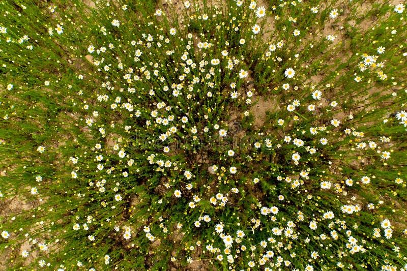 春黄菊花的领域 免版税库存照片
