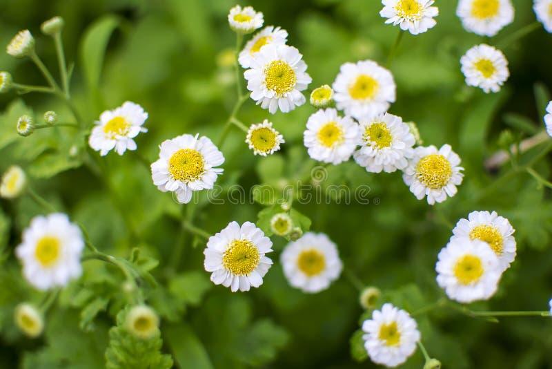 春黄菊迷离绿色背景 库存图片