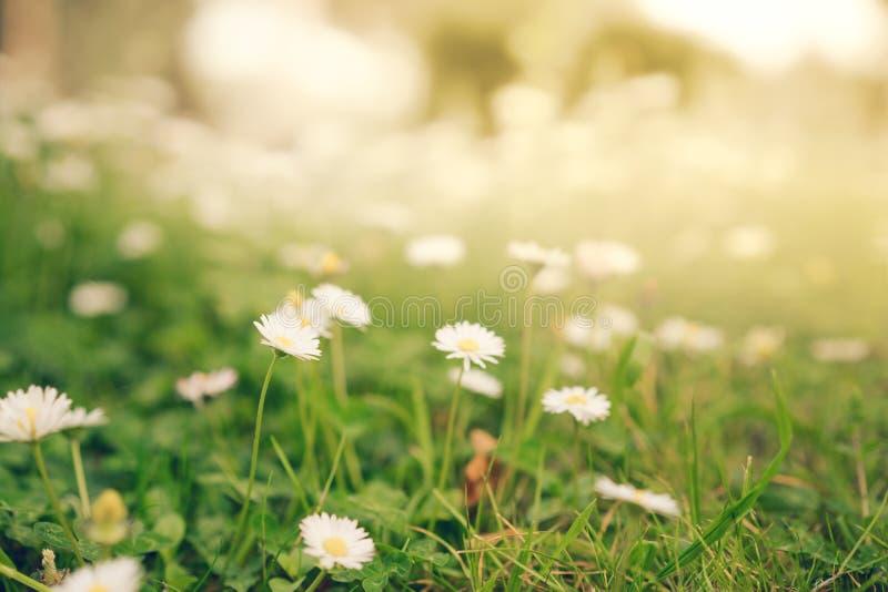 春黄菊雏菊在温暖的金黄阳光,软的焦点下开花 免版税库存照片