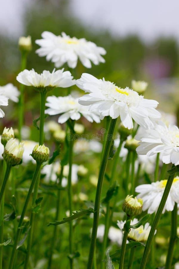 春黄菊(菊花)领域 免版税库存照片