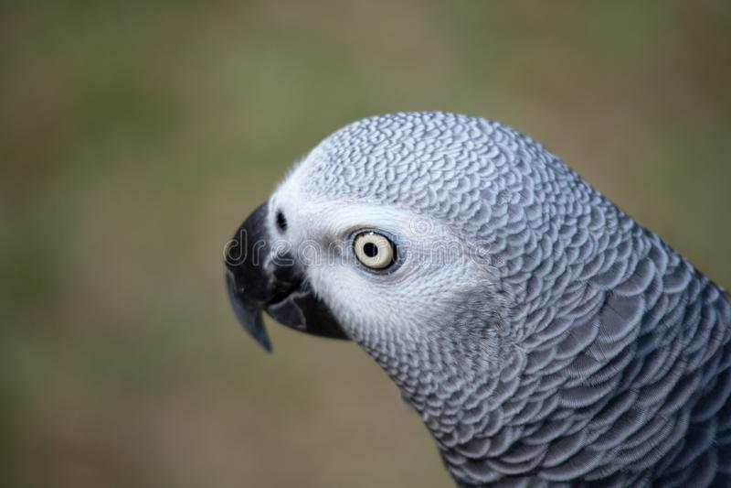 是一位好仿造物和健谈的人非洲人般的灰色的画象 免版税图库摄影