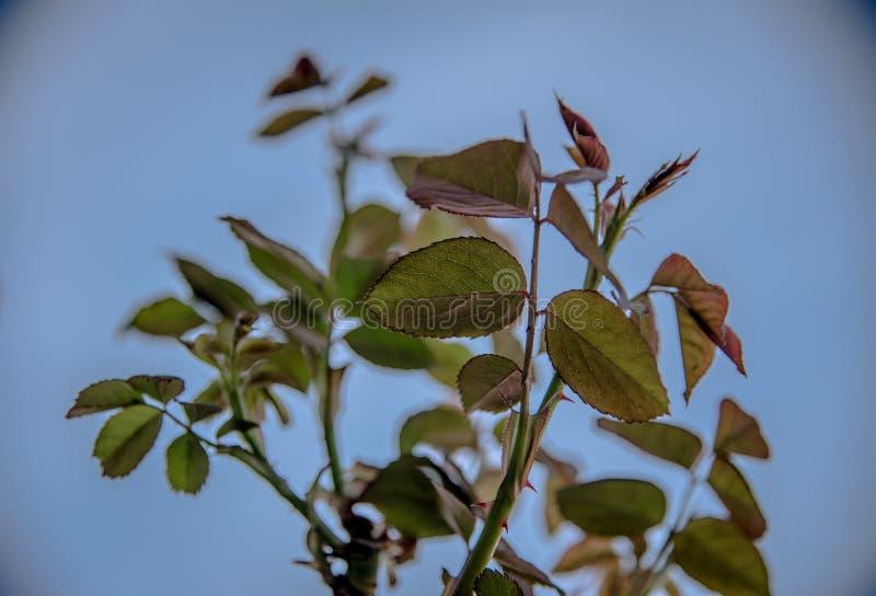 是在盛开年的这个季节的罗斯植物 看见了足迹的这棵植物 免版税图库摄影