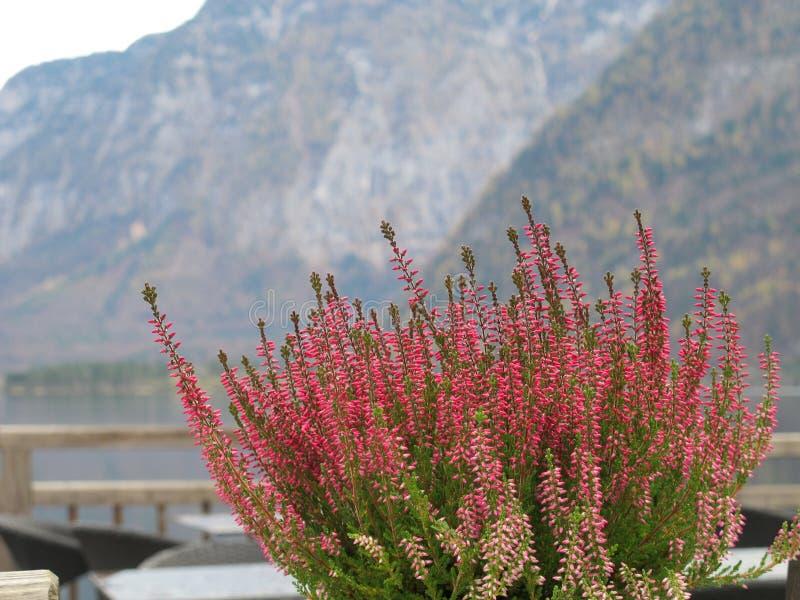是小的桃红色紫色的石南花花明亮的颜色发芽那些盖了所有植物 免版税库存照片