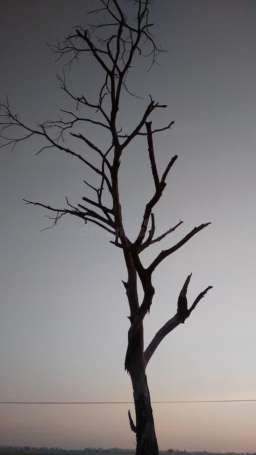 是干燥的在黎明的树剪影 库存照片