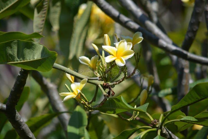 是接近的由开花的花决定的一棵美丽的热带赤素馨花树 免版税库存图片